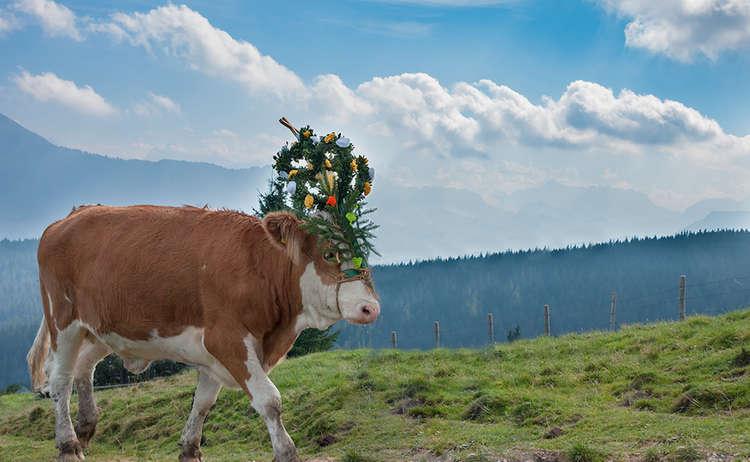 Prächtig geschmückte Kuh